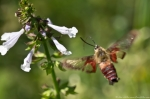 Hot Springs Mountain Rd Clearwing Hummingbird Moth