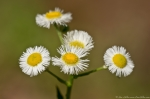 Hot Springs Mountain Road Wildflower Daisy Fleabane