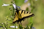 Hot Springs Mountain Rd Eastern Tiger Swallowtail Butterfly