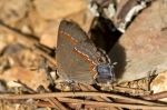 HSNP Floral Trail Red-banded Hairstreak Butterfly