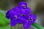 HSNP Floral Trail Purple Spiderwort