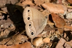 HSNP Short Cut Trail Spring Little Wood Satyr Butterfly