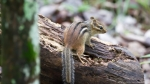 HSNP Hot Springs Mountain Trail Chipmunk