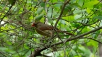HSNP Hot Springs Mountain Trail Female Cardinal
