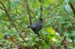 HSNP Hot Springs Mountain Trail Gray Catbird