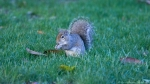 HSNP Arlington Lawn Squirrel having Breakfast
