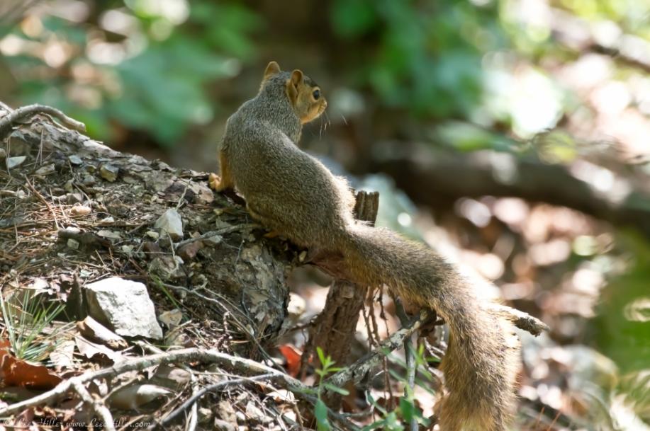 HSNP North Mt. Goat Rock Trail Spring Fox Squirrel