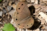 HSNP North Mt. Goat Rock Trail Wood Saytr Butterfly
