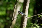 HSNP North Mt. Gulpha Gorge Trail Blue Jay