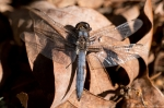 HSNP Fordyce Estate Ricks Pond Blue Dragonfly