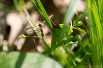 HSNP Fordyce Estate Ricks Pond Spring Cranefly - Tipulidae
