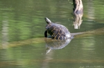 HSNP Fordyce Estate Ricks Pond Spring Turtles