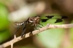 HSNP Fordyce Estate Sunset Trail Glossy Brown Dragonfly