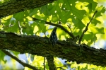 HSNP Fordyce Estate Sunset Trail Black & White Warbler