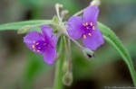 HSNP Fordyce Estate Sunset Trail Pink Spiderwort