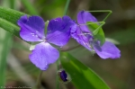 HSNP Fordyce Estate Sunset Trail Purple Spiderwort