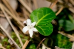 HSNP Fordyce Estate Sunset Trail Partridgeberry  Wildflower