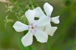 HSNP Fordyce Estate Sunset Trail White Phlox