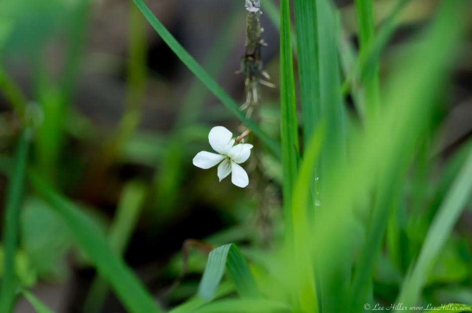 HSNP Fordyce Estate Sunset Trail Viola canadensis, Canada Violet