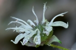 HSNP Fordyce Estate Sunset Trail Wild Bergamot