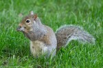 HSNP Arlington Lawn Squirrel At Dawn