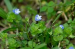 Hot Springs Mountain Rd Birds-Eye Speedwell