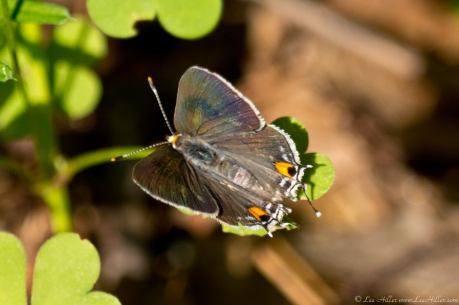 Hot Springs Mountain Trail Gray Hairstreak Butterfly