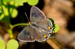 Hot Springs Mountain Trail Eastern Tailed-Blue Butterfly
