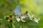Hot Springs Mountain Trail Summer Azure Butterfly