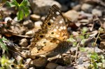 HSNP Lower Peak Trail Hackberry Emperor Butterfly