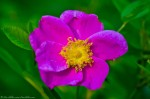 HSNP Tufa Terrace Wild Rose At Dawn