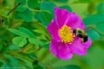 HSNP Tufa Terrace Wild Rose w/ Bee At Dawn