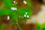 HSNP Floral Trail Alpine Bluets