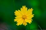 HSNP Floral Trail Lance Leaf Coreopsis