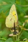 HSNP Hot Springs Mountain Road Orange Sulphur Butterfly