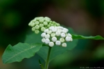 HSNP Short Cut trail White Flowered Milkweed