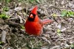 HSNP Tufa Terrace Male Cardinal