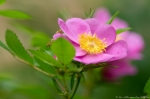 HSNP Tufa Terrace Wild Rose