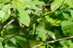 HSNP Upper Dogwood Trail Green Dragonfly