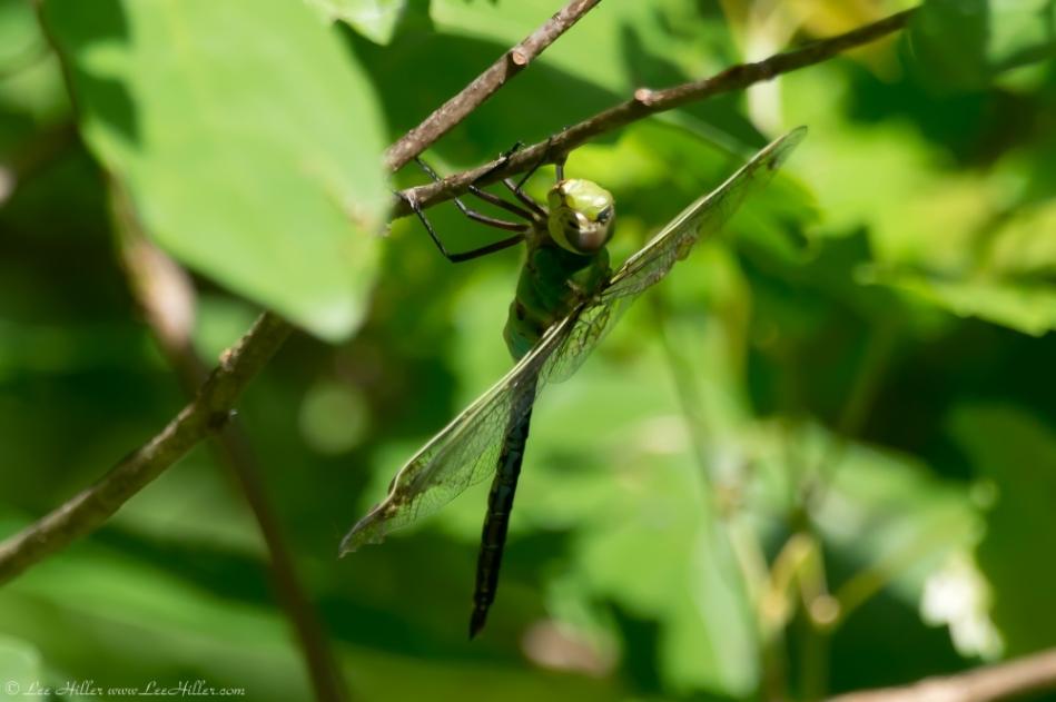 HSNP Upper Dogwood Trail Green Dragonfly