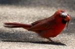 HSNP Arlington Lawn Balding Male Cardinal