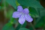 HSNP Upper Dogwood Trail Smooth Petunia