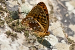 HSNP Goat Rock Trail Orange Spotted Butterfly
