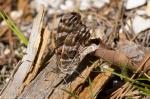 HSNP Gulpha Gorge Trail American Snout Butterfly