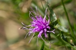 HSNP Gulpha Gorge Trail Ouachita Blazing Star