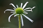 HSNP Gulpha Gorge Trail Cone Flower