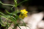 HSNP Gulpha Gorge Trail Lance Leaf Coreopsis