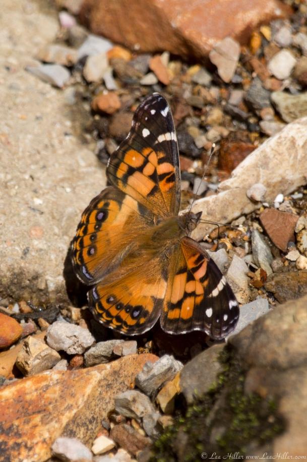 HSNP Hot Springs Mountain Rd Creek Orange Butterfly