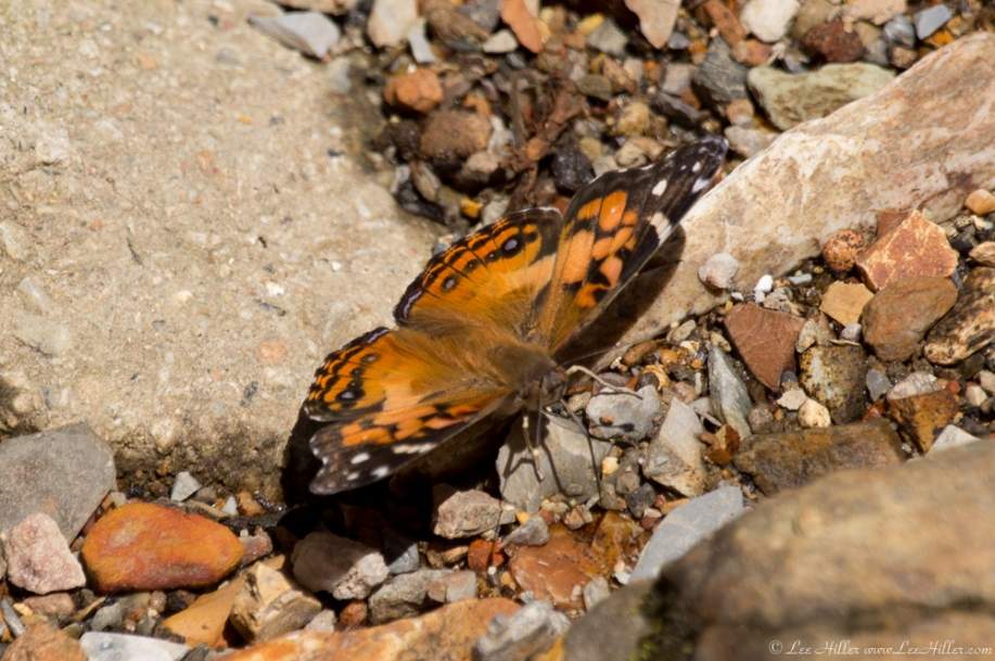 HSNP Hot Springs Mountain Rd Creek Orange Butterfly