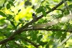 HSNP Upper Dogwood Trail Carolina Chickadee